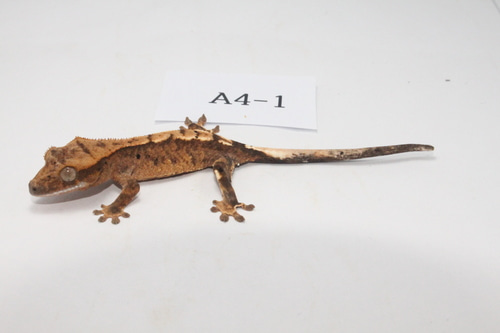 A4-1 핀스트라이프 스포티 플레임 Pinstripe Spotty Flame Crested Gecko