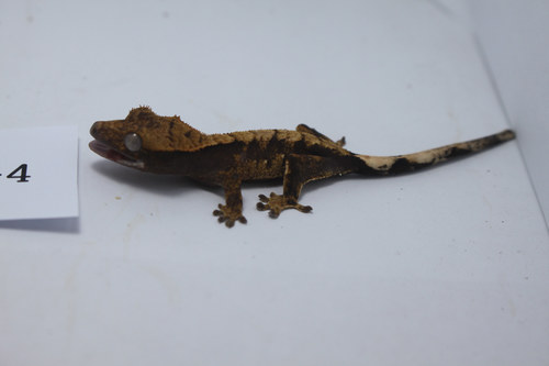 R7-4 핀스트라이프 플레임 Pinstripe Flame Crested Gecko