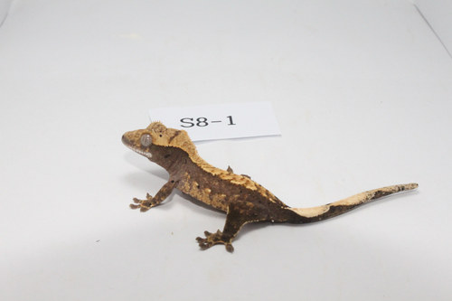 S8-1 핀스트라이프 플레임 Pinstripe Flame Crested Gecko