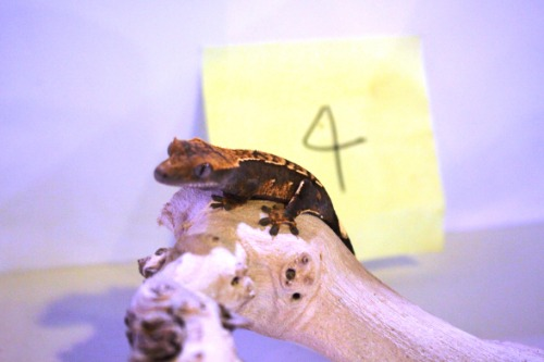 Crested Gecko 4번- Pinstripe Mocha Harley