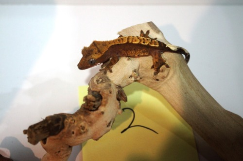 Crested Gecko 2번- Mocha Harley Pinner